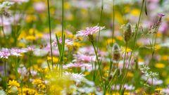 Mittwochsblümchenwiese