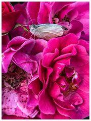 Mittwochsblümli- Rosen mit Falter