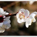 Mittwochsblütchen