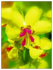 Mittwochsblume in Gelb