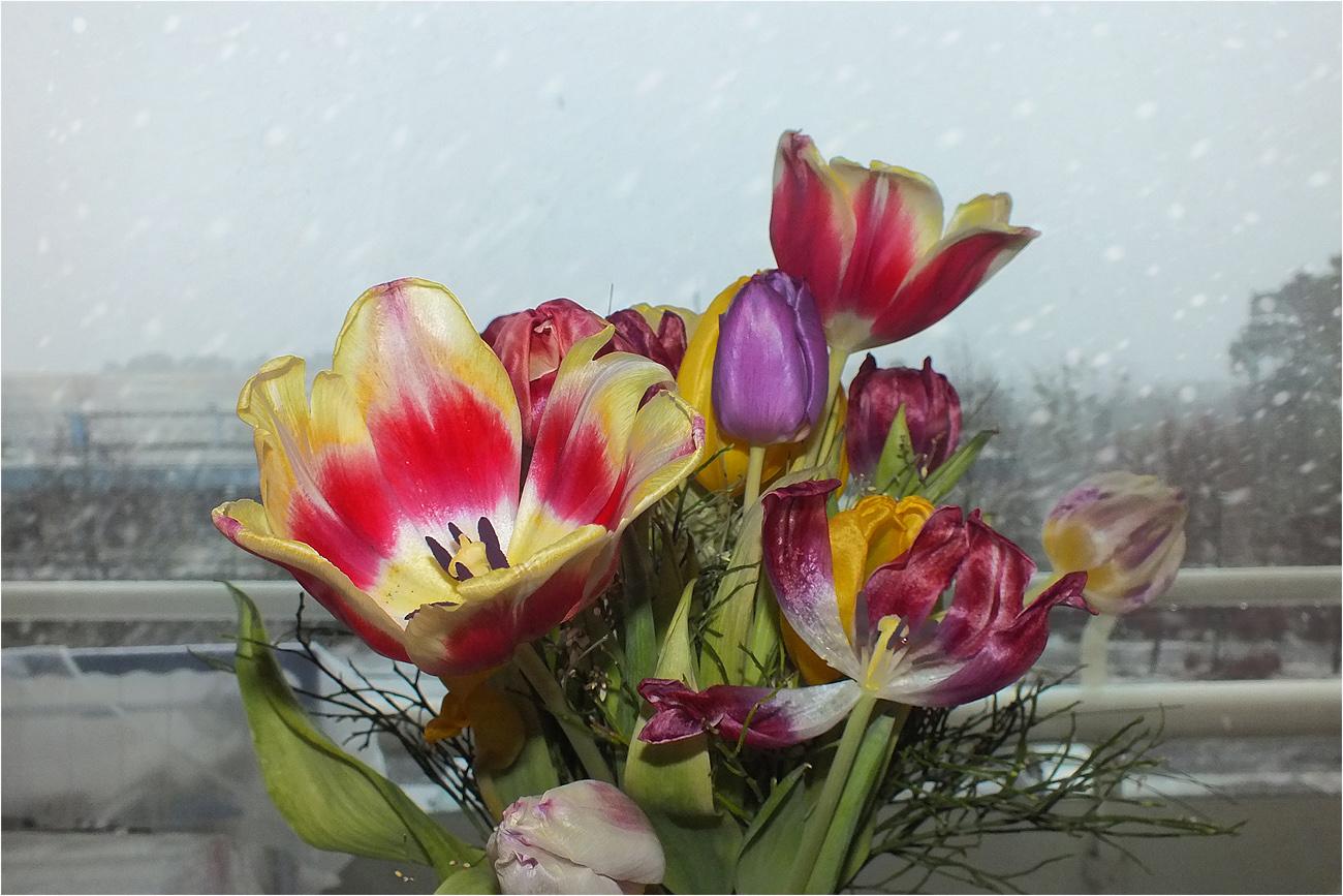 Mittwochsblumen_Tulpen_Winterzeit