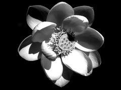 Mittwochslotosblüte
