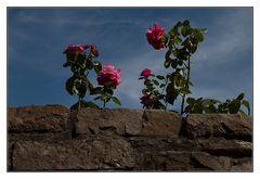 Mittwochsmauerblümchen