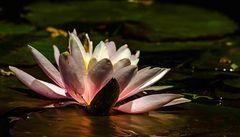 Mittwochsplümchen aus meinem Teich ....