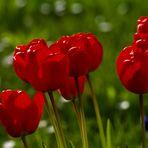 MIWOBLÜ 02.06.2021  Tulpe