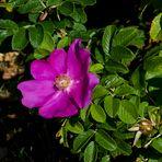 MIWOBLÜ13.10.2021.  Die Sylter Rose