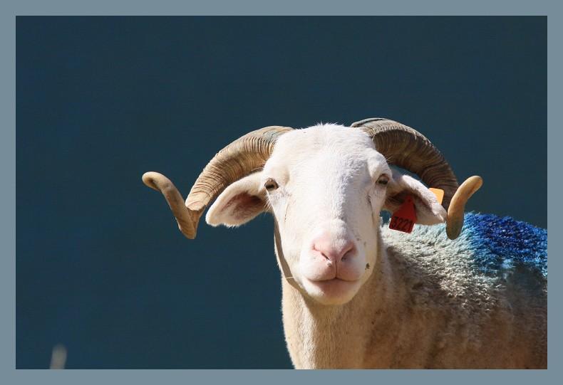 même la laine est bleue!