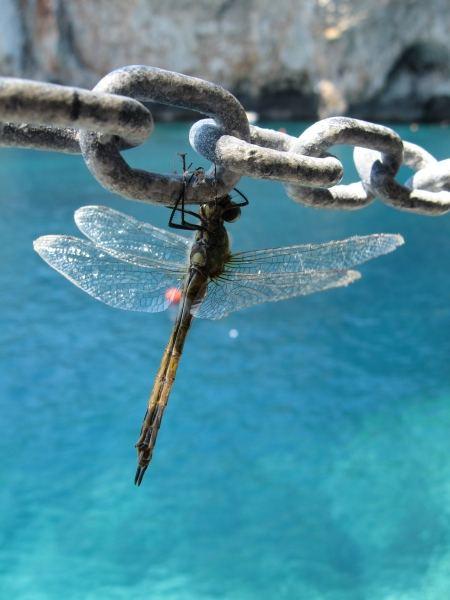 Modellula (la libellula modella)