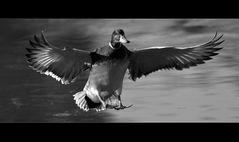 Möchtegern-Seeadler