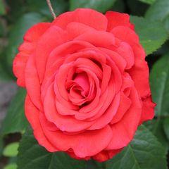 Möge Euer WE mit Rosen ausgefüllt sein
