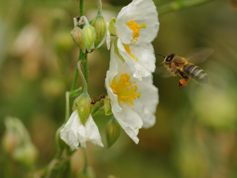 Möhrenfarbener Pollen