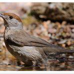 - Mönchgrasmücke weiblich - ( Sylvia atricapilla )