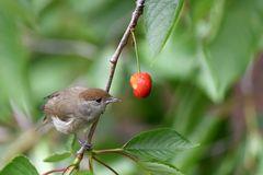 Mönchsgrasmücke (Weibchen)