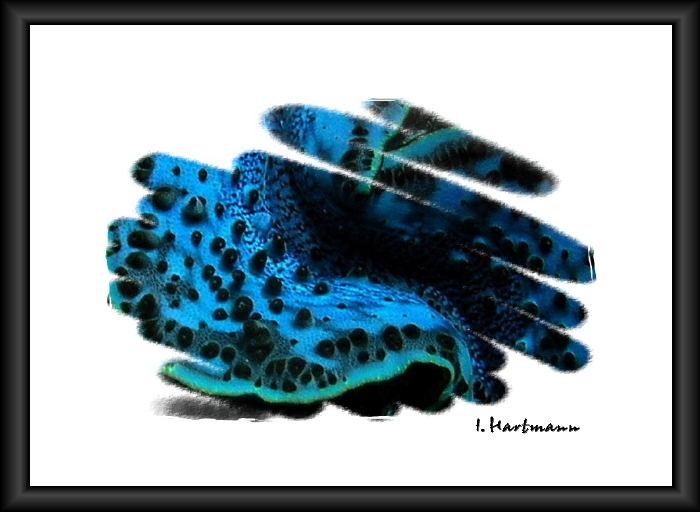 Mördermuschel - Tridacna derasa