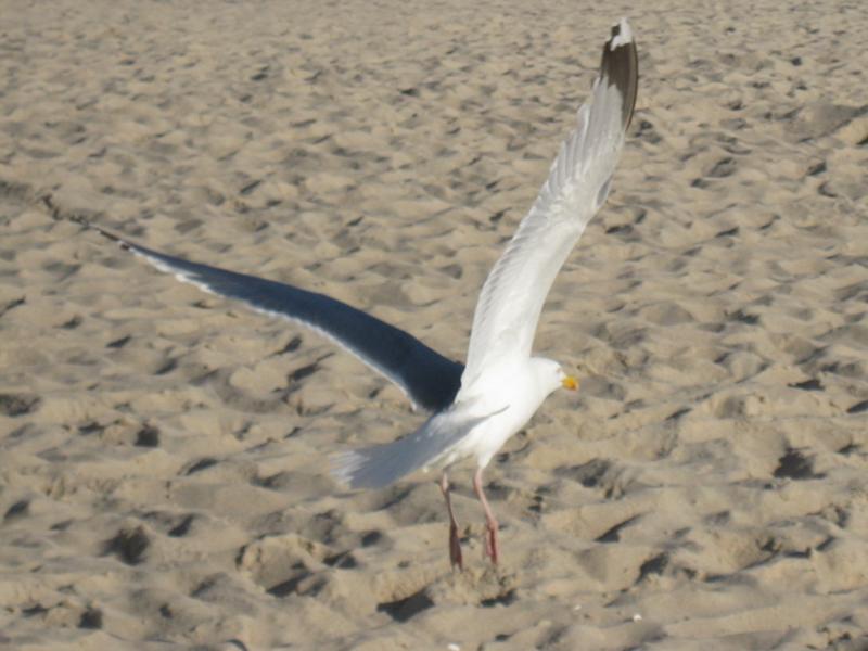 Möve am Strand bei Westerland auf Sylt