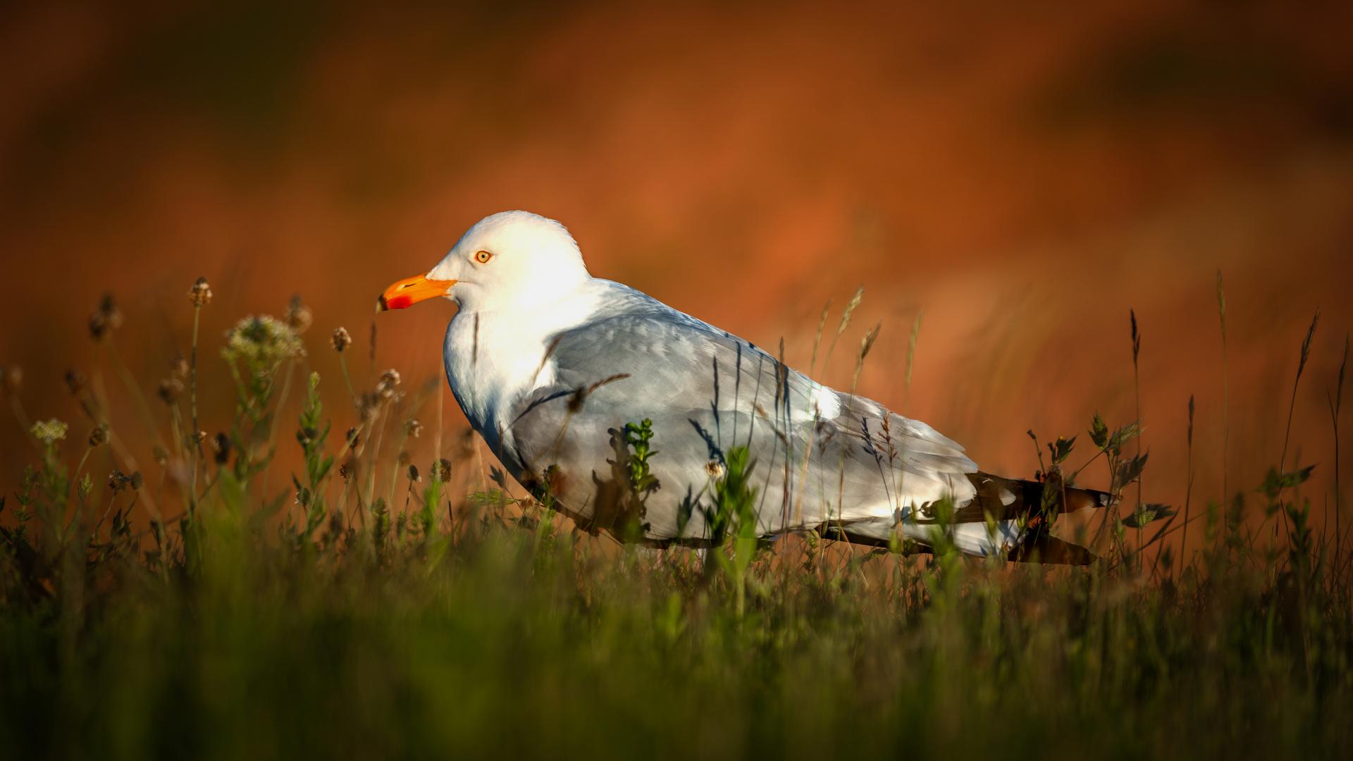 Möve auf Helgoland