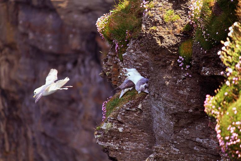 Möven - Cliffs of Moher