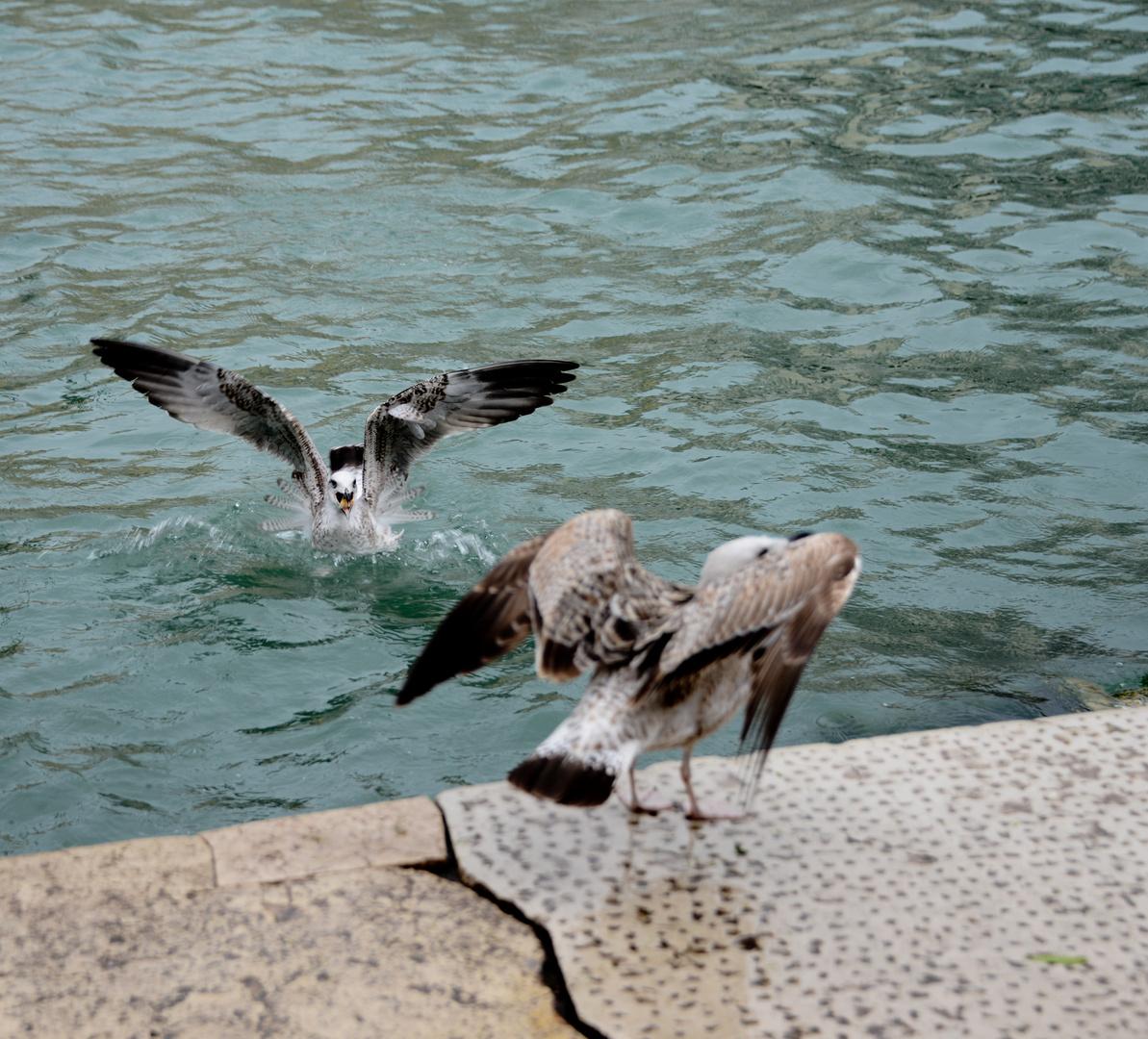 Möven - Venedig