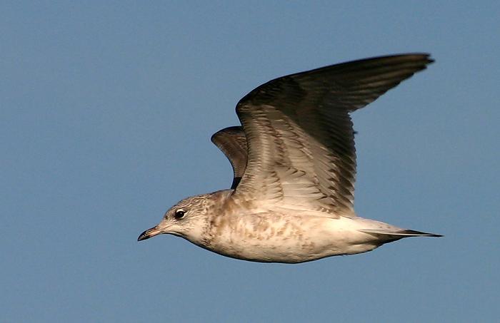 moewe foto  bild  tiere wildlife wild lebende vögel