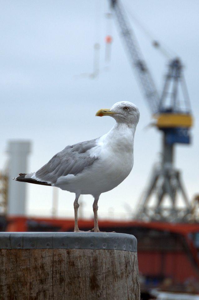 Möwe Am Hamburger Hafen Foto Bild Tiere Wildlife Wild Lebende