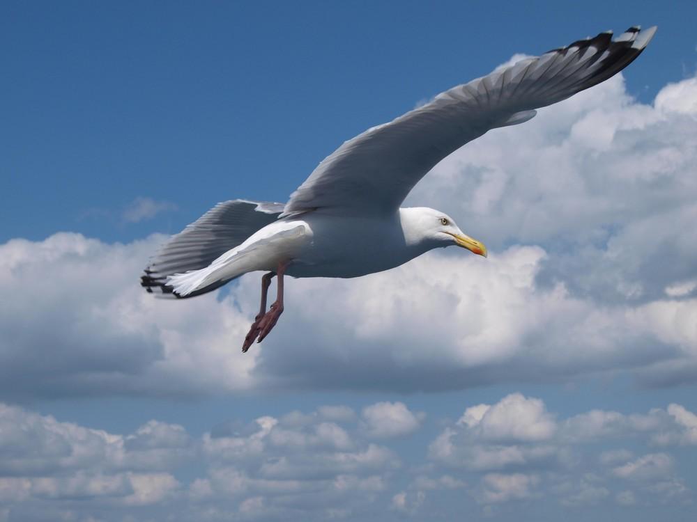 Möwe im Flug über die Ostsee