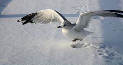 Möwe im Schnee
