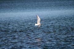 Möwe im Tiefflug über dem Steinhuder Meer
