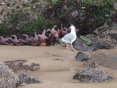 Möwe inspiziert Pazifik-Seesterne