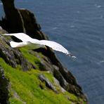 Möwe / Irland Skellig Islands