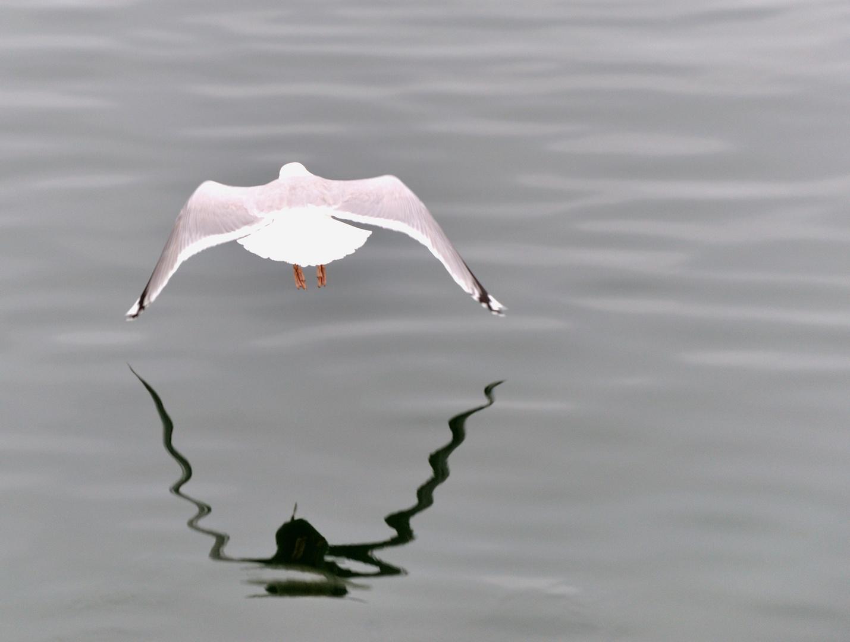 Möwe über Wasser ... Wo fliegt sie hin???