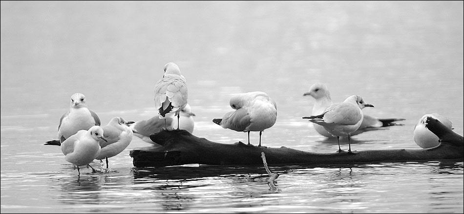 Möwen auf dem Bodensee