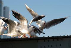 Möwen Fütterung # Comida para las gaviotas