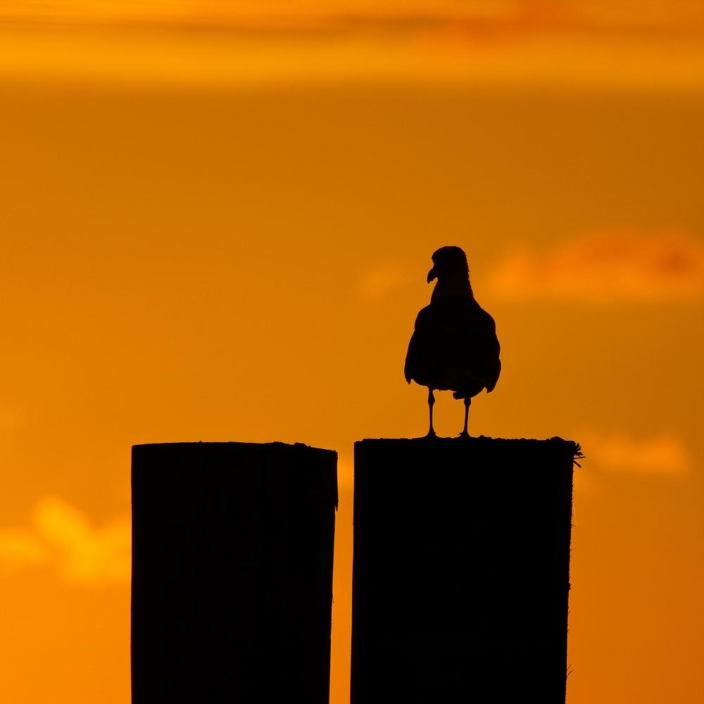 Möwen-Silhouette im Sonnenuntergang
