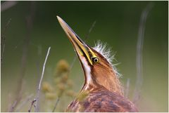 Mohawk Heron