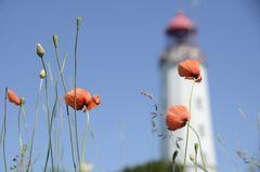 Mohn am Leuchtturm Dornbusch