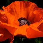 Mohn - eine fast perfekte Blüte