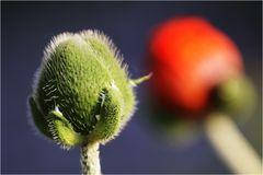 Mohn, grün - rot