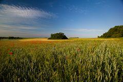 Mohn im Getreidefeld 2