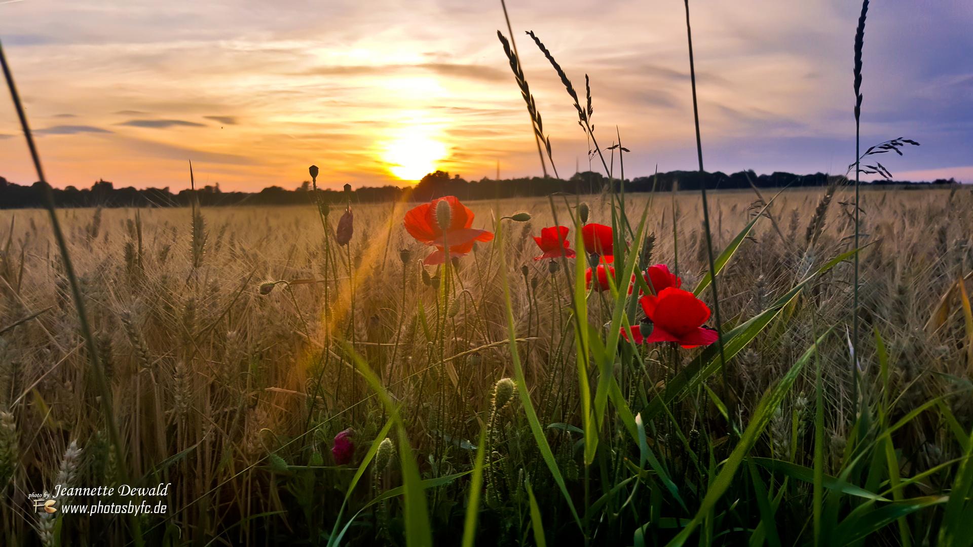 Mohn im Sonnenuntergang - Photos by FC - Jeannette Dewald