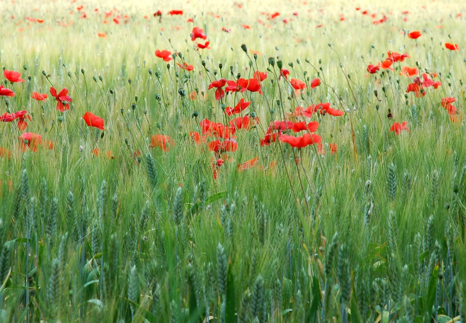 Mohn in der Provence