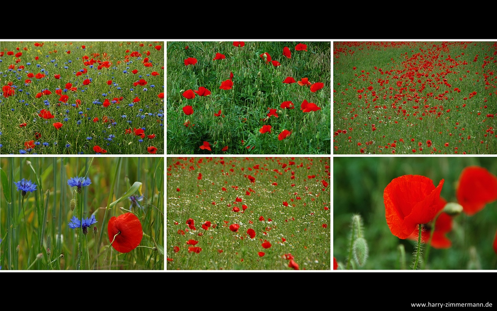 Mohn in Meck.-Pomm