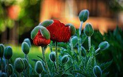 Mohn, Knospen und Blüten