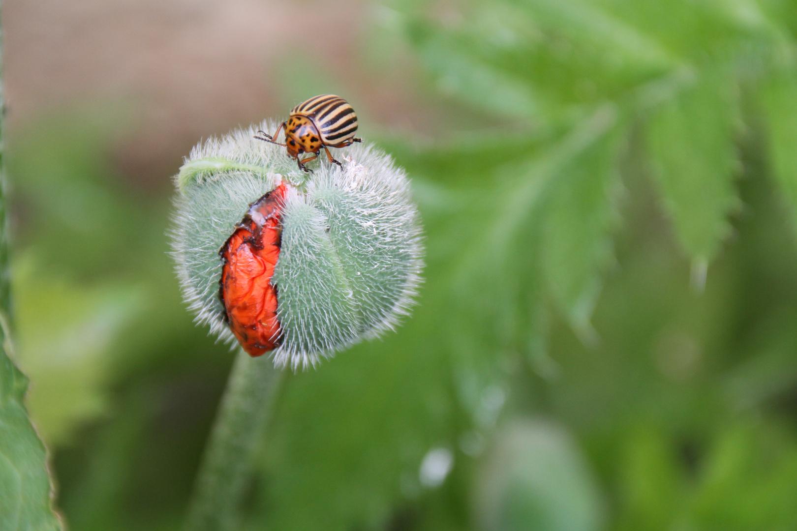 Mohn mit Käfer...