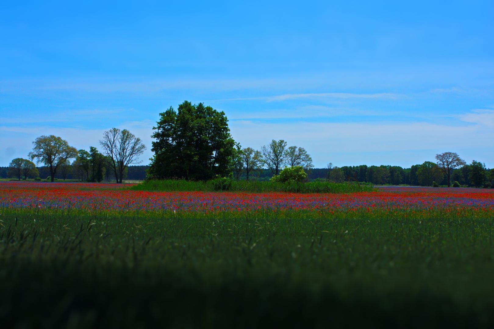 Mohn und Korn Blumen