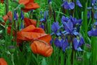 Mohn und Lilien