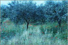 Mohn unter Olivenbäumen