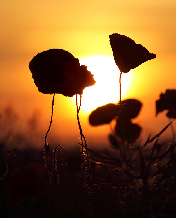 Mohnanbeter beim Sonnenuntergang