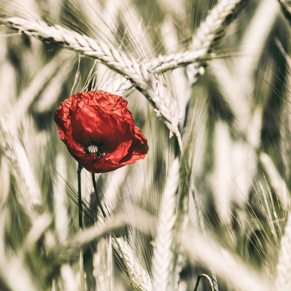 Mohnblüte ©