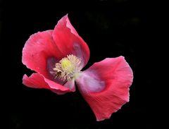 Mohn.....Blüte