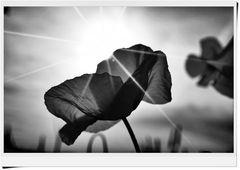 Mohnblüte im Gegenlicht und in s/w